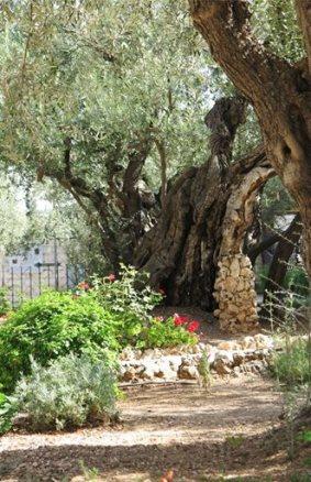 Garden of Gethsemane 3